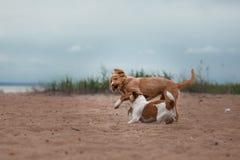 Spiel Jack Russell Terrier und Toller Lizenzfreie Stockfotos