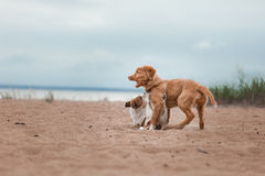 Spiel Jack Russell Terrier und Toller Lizenzfreie Stockfotografie