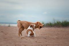 Spiel Jack Russell Terrier und Toller Stockfoto