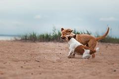 Spiel Jack Russell Terrier und Toller Lizenzfreies Stockbild