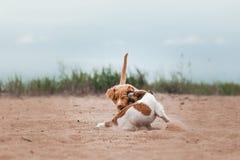 Spiel Jack Russell Terrier und Toller Lizenzfreie Stockbilder