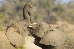 Spiel mit zwei afrikanischen Elefanten, das in Südafrika kämpft Lizenzfreie Stockfotos