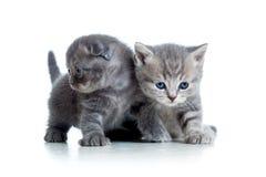 Spiel mit zwei lustiges schottisches Katzenkätzchen zusammen Lizenzfreie Stockfotos