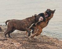 Spiel und Kampf mit zwei Welpen auf Strand Lizenzfreies Stockbild