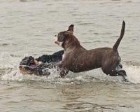 Spiel und Kampf mit zwei Welpen im Wasser Lizenzfreies Stockfoto