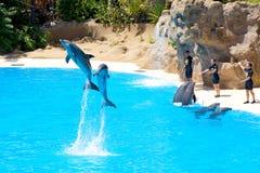 Spiele der Delphine mit Kugeln Stockfotos