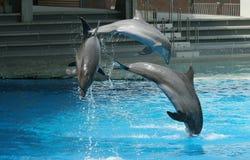Spiele der Delphine mit Kugeln Stockfotografie