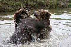 Spielen der Bären Stockfotografie