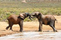 Spielen der Elefanten stockfotografie