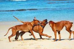 Spielen der Hunde Stockfotos
