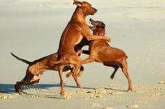 Spielen der Hunde Lizenzfreies Stockbild