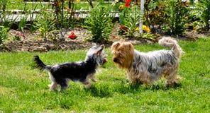 Spielen der Hunde Stockfoto