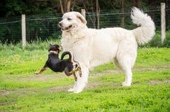 Spielen der Hunde Stockfotografie