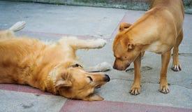 Spielen der Hunde Stockbilder