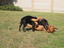 Spielen der Hunde Lizenzfreie Stockfotografie