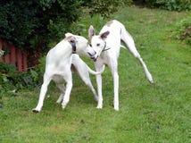 Spielen der Hunde Stockbild