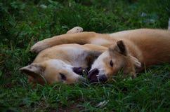 Spielen der Hunde Lizenzfreie Stockfotos