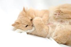 Spielen der persischen Katze Stockfoto