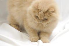 Spielen der persischen Katze Stockfotos