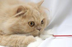 Spielen der persischen Katze Lizenzfreie Stockfotos