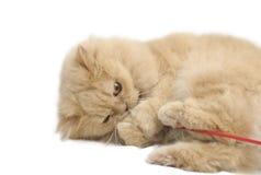 Spielen der persischen Katze Lizenzfreie Stockbilder