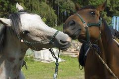 Spielen der Pferde Stockfotografie
