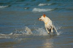 Spielen des goldenen Apportierhunds stockbild