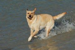 Spielen des goldenen Apportierhunds lizenzfreie stockfotografie