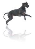 Spielen des Hundes Stockfotos