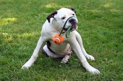 Spielen des Hundes Stockfotografie