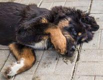 Spielen des Welpen des tibetanischen Mastiffs Lizenzfreie Stockbilder