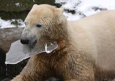 Spielen icebear Lizenzfreies Stockfoto