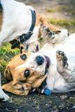 Spielen mit glücklichen Spürhundhunden lizenzfreie stockfotos