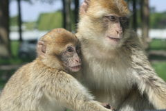Spielen mit zwei Affen Stockbild