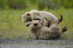 Spielen mit zwei braunes Bärenjungen Stockfotos