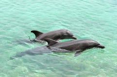 Spielen mit zwei Delphinen Lizenzfreie Stockfotografie