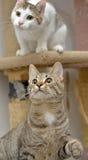 Spielen mit zwei entzückendes Katzen Stockfotografie