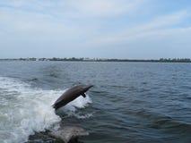 Spielen mit zwei Flaschennasen-Delphinen stockfotos