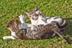 Spielen mit zwei gestreiftes Katzen Lizenzfreies Stockfoto