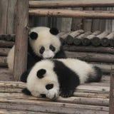 Spielen mit zwei Jungen des großen Pandas Stockfotos
