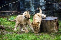 Spielen mit zwei junges Löwejungen Stockfotos