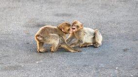 Spielen mit zwei junges Makaken Lizenzfreie Stockbilder