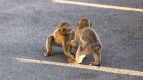 Spielen mit zwei junges Makaken Stockfotografie