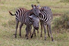 Spielen mit zwei junges Zebras Stockfotografie