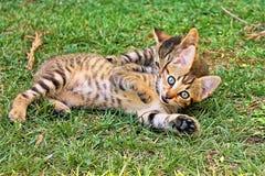 Spielen mit zwei Miezekatzen lizenzfreie stockfotografie