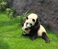 Spielen mit zwei Pandas stockfotos