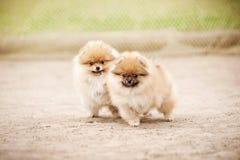 Spielen mit zwei Pomeranian-Spitz-Welpen Lizenzfreie Stockfotos