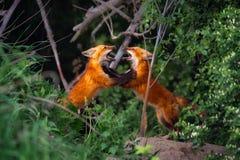 Spielen mit zwei roter Fox-Geschwister stockfotos