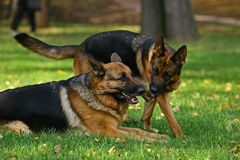 Spielen mit zwei Schäferhunden Lizenzfreie Stockfotos