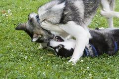 Spielen mit zwei Schlittenhunden Stockfotos